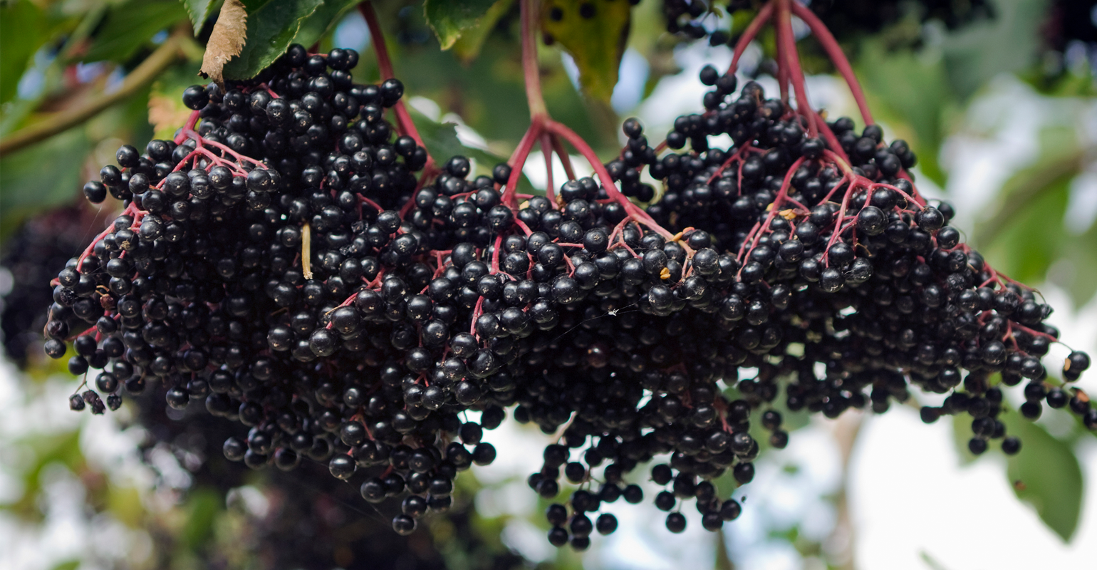 Should retailers recommend elderberry for coronavirus?