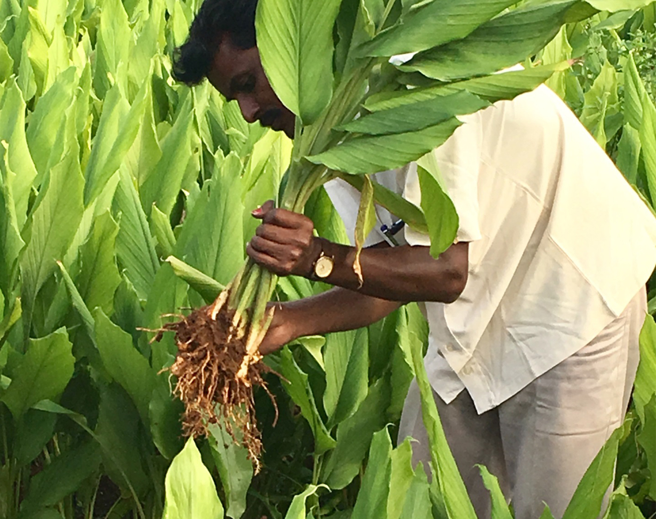 Turmeric plant being harvested