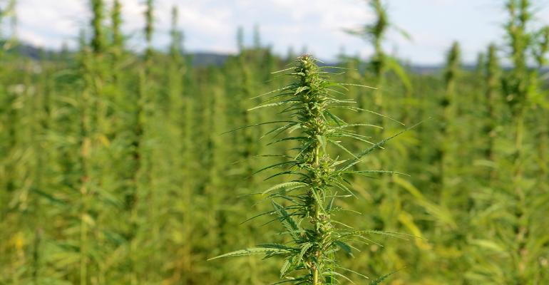 overview of the top of industrial hemp plants