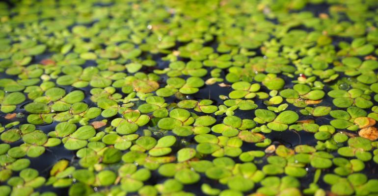 Duckweed Floating on Water
