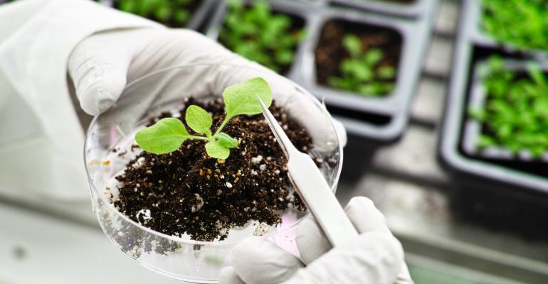 gmo plant growing in petri dish
