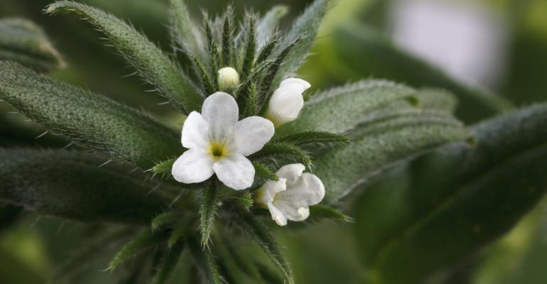 ahiflower-Buglossoides-arvensis