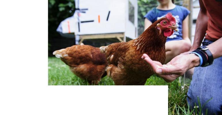 Backyard chickens blamed for salmonella outbreaks