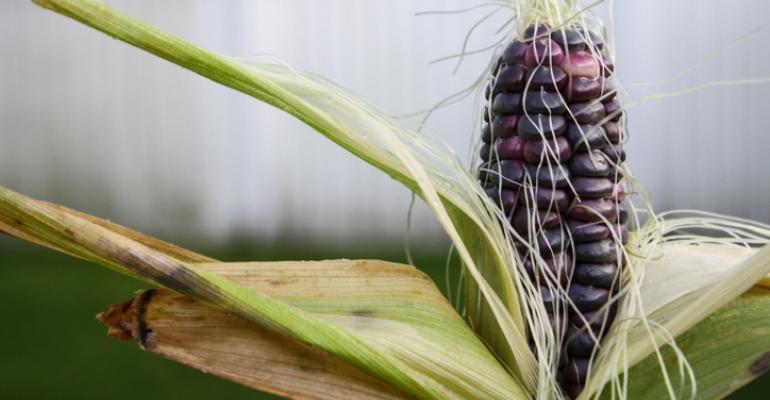 blue corn benefits