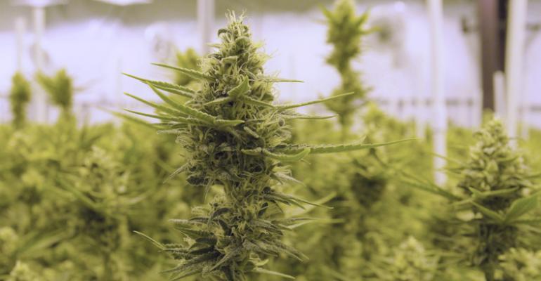 cannabit plant growing CBD