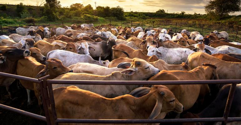 Cattle in a pen