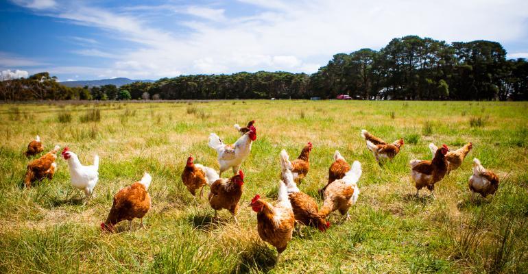 chicken-pasture