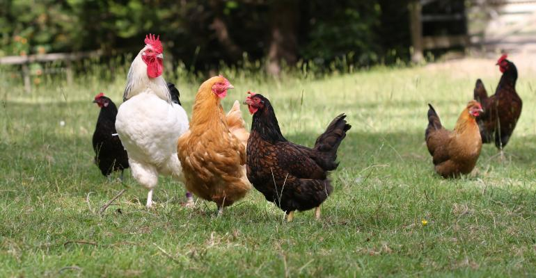 chickens in pasture