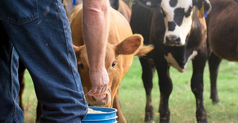 farmer cows in field