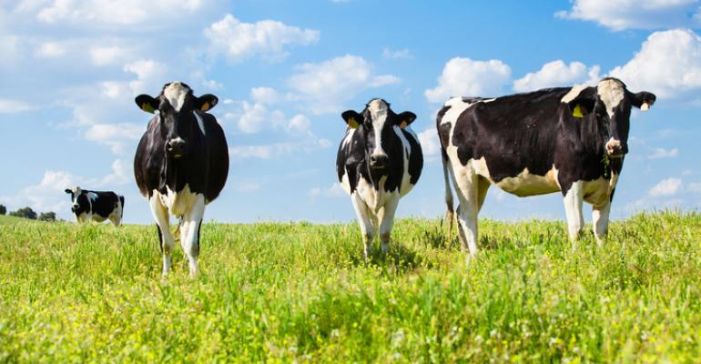 Three quiet cows pasturing at green fields with blue sky background