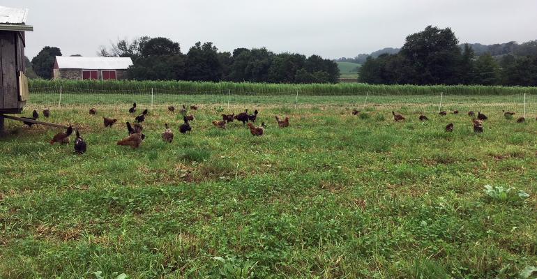 Chickens in a farm field
