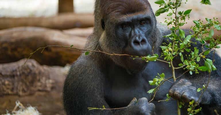 A male black gorilla eats leaves