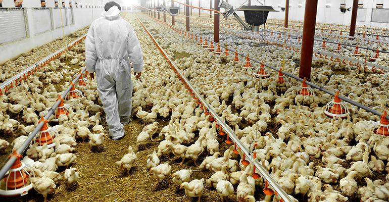 industrial-agriculture-chickens.jpg