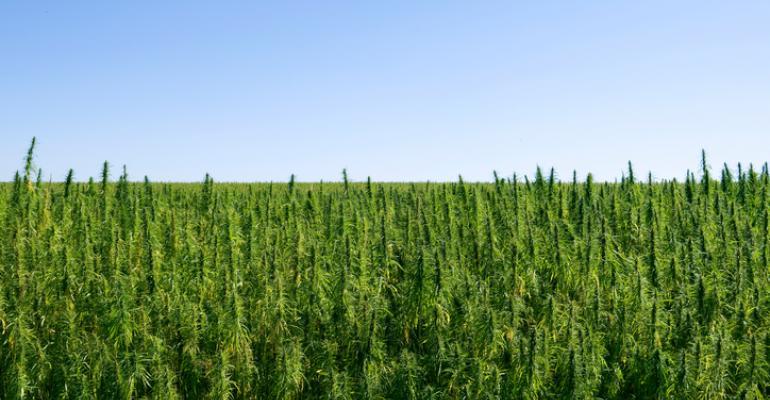 industrial hemp growing