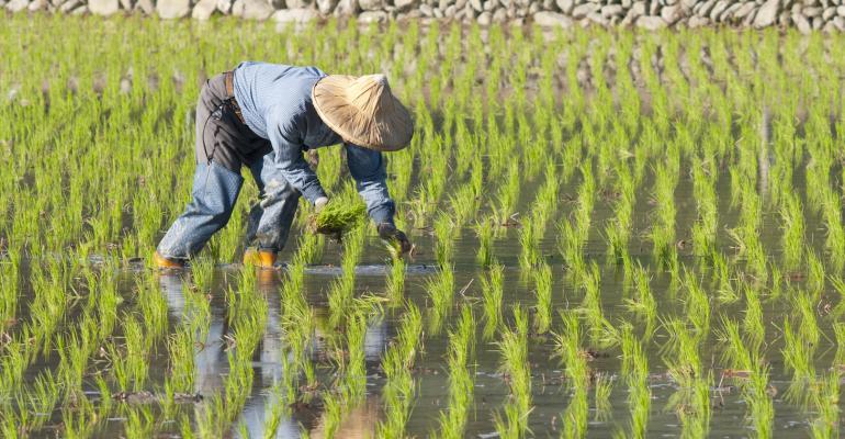 Rice Patty Farmer