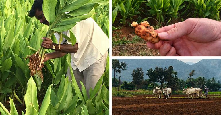 Sabinsa turmeric farms