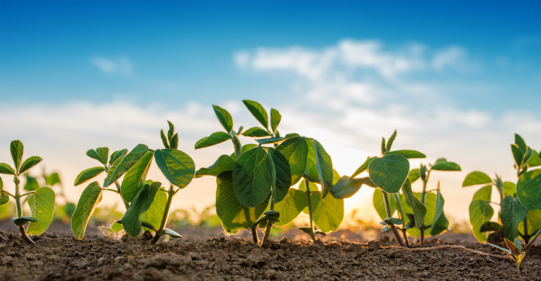Small soybean plants
