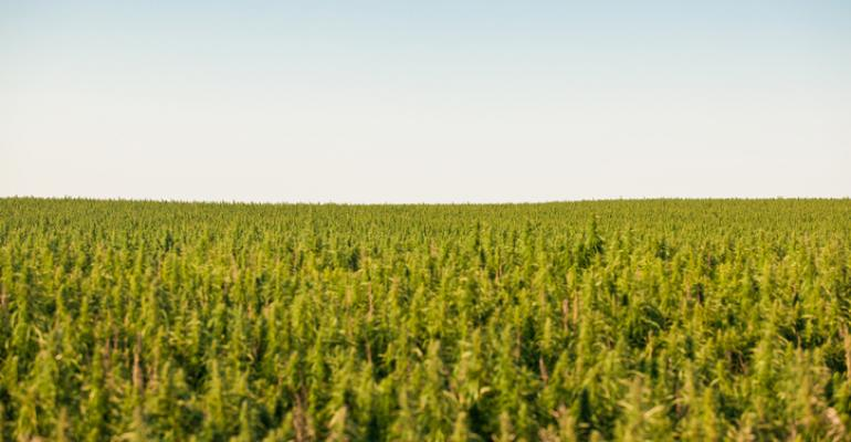 Hazy time for hemp producers