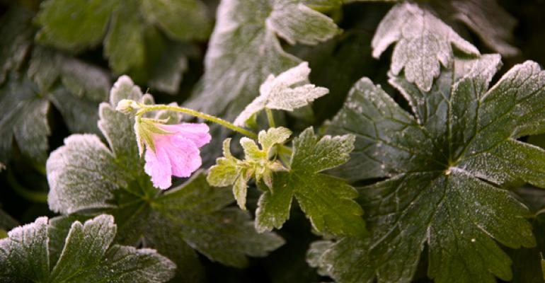 Geranium extracts just won't go away
