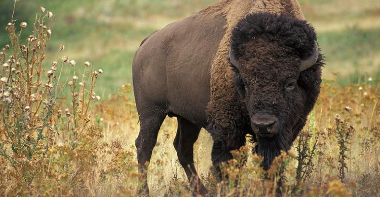 Bye, bye bison? How the drought affects future supply