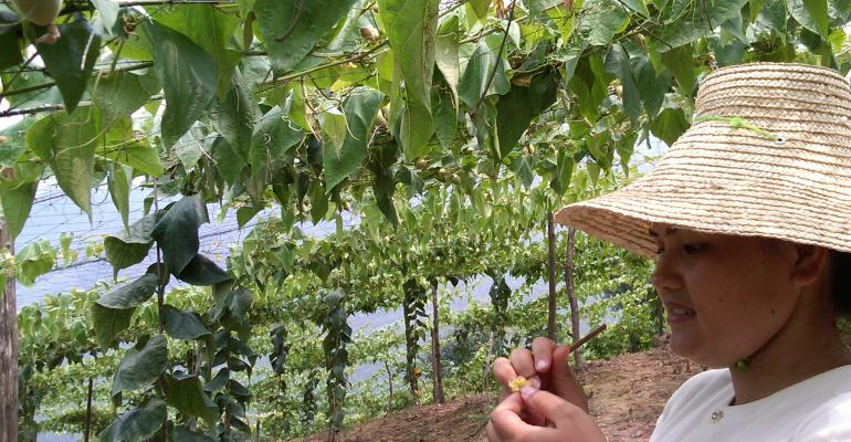 A worker handpollinates monk fruit growing on Layn USA39s growing fields in China