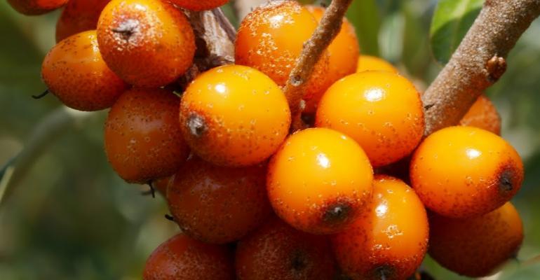 Sea buckthorn berry helpful in many ways