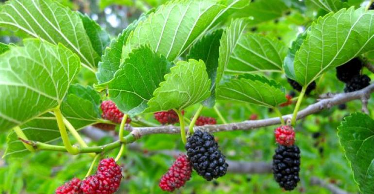 Phytochem releases 1-DNJ mulberry leaf extract