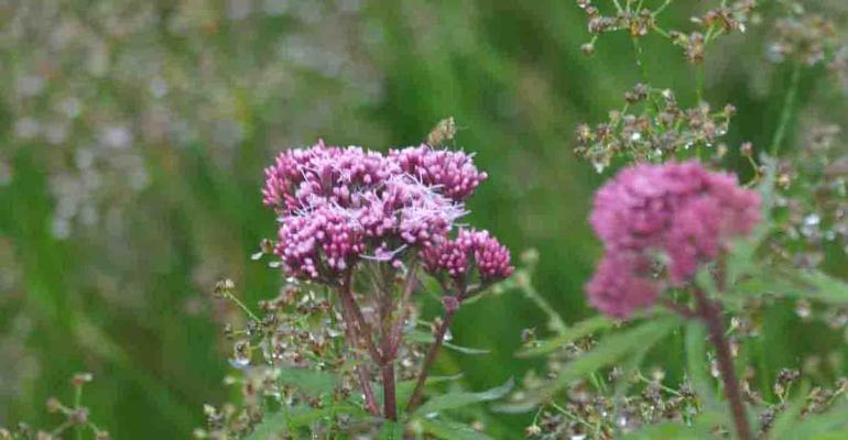 Valerian supplements vary wildly
