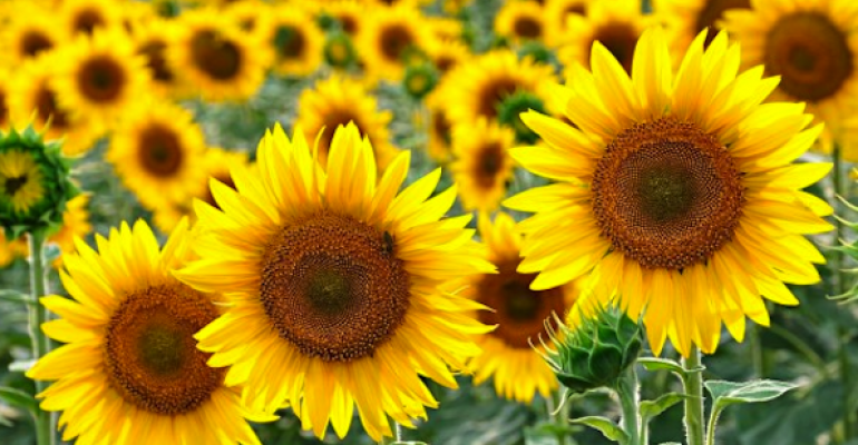 Sunflower: The non-GMO oil you don't have to worry about