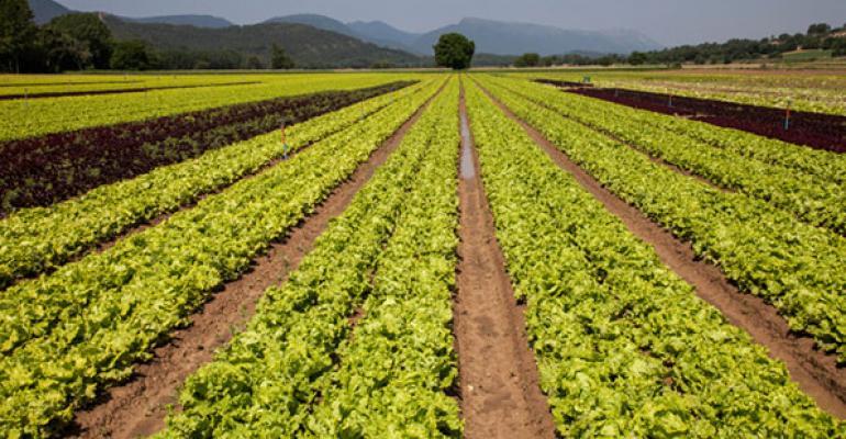 Organic farm lettuce