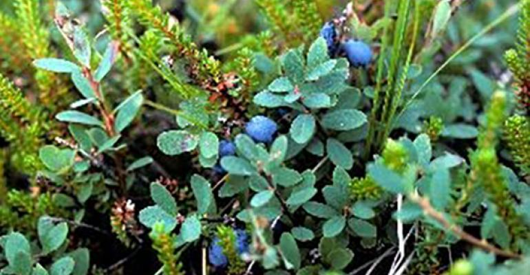 Bilberry Vaccinium myrtillus