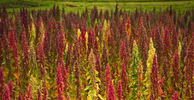 U.S. grown quinoa is growing to meet demand and specific product uses