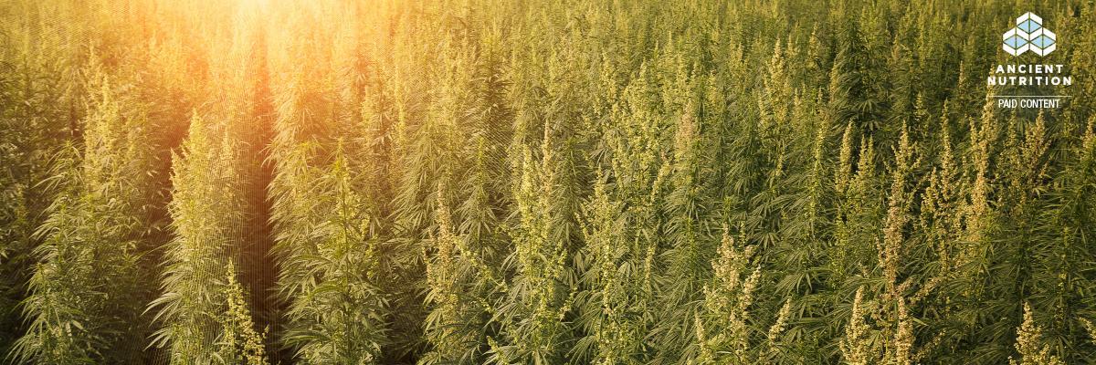 CBD hemp: The organic factor – infographic