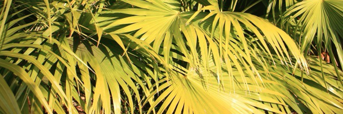 A review of saw palmetto extract and the importance of extract quality – white paper