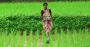 Rice Farmer in a Rice Paddy