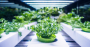 urban farming kale