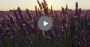 Lavender field with play button
