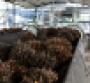 Palm oil fruit on a production line