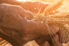 hands-holding-grains-sunset