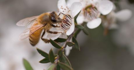 manuka honey has different qualities than other honeys