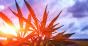 Hemp plant in sunset