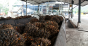 Palm oil fruit on a production line