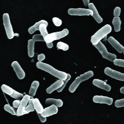 Probiotic strains BB-12 and LGG